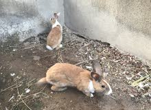 ارانب عمانيه ذكور عدد 2