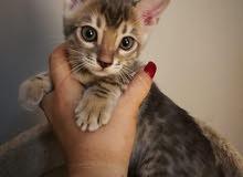 Rare blue bengal pure breed kitten
