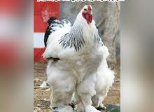 يوجد لدينا صوص أو بيض من كل الأنواع المعروضة فواخر الدجاج الزينة