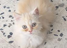 قطط فارسيه للبيع