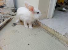 أرنب هولندي جميل للبيع قابل للتفاوض بالمعقول 97663396