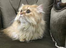 قطة (ريد تابي ) و قط هيملايا اورانج
