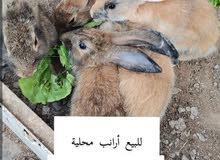 ارانب محلية