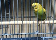 طيور الحب منتجه مع فرخين