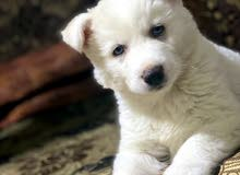 كلب هاسكي لون مميز ابيض شعر طويل عظم عريض سعر120 رقم تلفون0798297011