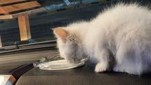 Beautiful White Kitten Persian/Himalayan