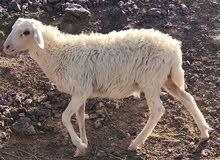 Sheep 4 months, غنم 4 أشهر