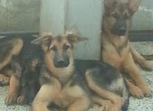 Germany Sheppard puppies