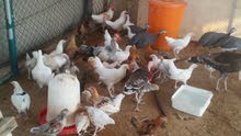 دجاج + ديك رومي + دجاج خيبر للبيه جملة