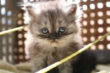 قطط شيرازي لطيفة جداً وبيوتية