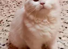 قط شيرازي لقطة