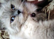 قطه هملايا