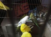 طيور الحب العدد 17 زوج