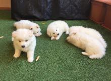 جراوي سامويد Samoyed Puppies