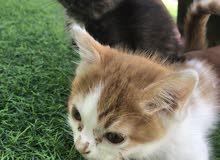 قطط شيرازية ذكر و أنثى تقريبا اعمارهم ثلاث شهور و السعر المعروض للقطتين معا