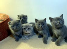 Scottish Fold & Scottish Straight Kittens