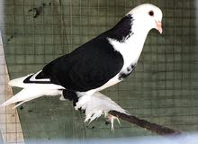 زوج طيور شيرازية