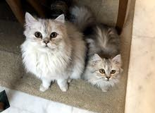 A male & a female Cat for sale