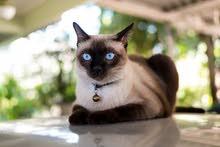 قطط سياميو