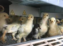 دجاج براهما لايت للبيع عمر 25 يوم بصحة ممتازة ونشاط عالي