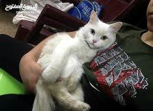 قطه شيرازي عيونها تك وتك     بسعر مناسب