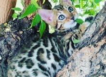 Bengal kitten pure breed, from imported pedigree parents