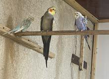 كوكتيل ذكر + زوج طيور حب هاجرمو