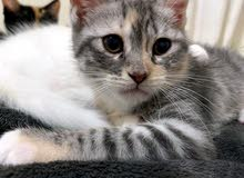 Turkish angora and Himalayan mix kitten for sale