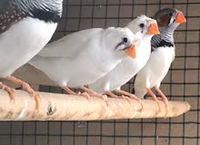 cage with birds for sale