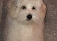 maltese dog كلب مالطي ذكر ابيض