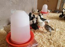 بيع دفعة جديدة من فلوس( صيصان دجاج) خليط السلالات