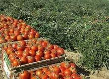 100فدان طماطم للايجار في الجيزه