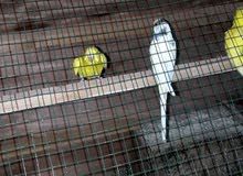 طيور حب زوج +تك. الزوج جواهن بيض وشرط التلقيح