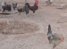 دجاج بلدي وفيومي