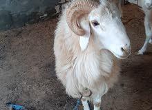 خروف وطني سنه ارباع للبيع