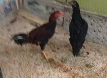دجاج هراتيات ديج ودجاجه السعر 50 الف  رقمي 07713281823