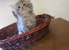 قطط صغار