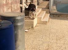 كلب هاسكي للبيع السبب عدم التفرغ له