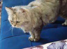 قطة فارسيه أنثى