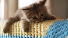 مطلوب قطة فارسية للبيع بسعر معقول