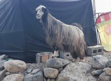 للبيع شاه جلحا من حلال رحوب عمرها 3 سنوات