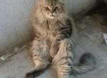 قطة  بني روعه اليفه