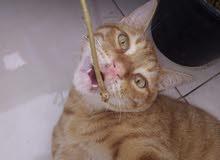 الهرم ترشا شرا قطة