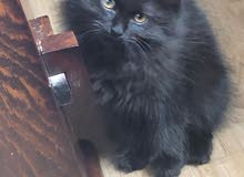 for sale cat
