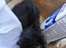 قطه تهجين
