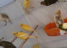 طيور للبيع او بدل