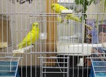 جوز طيور حب لون مميز أصفر ليموني البينو