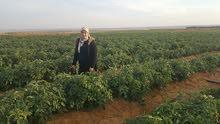 شركة السنابل لاند للتنمية الزراعيه واستصلاح الاراضى
