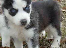 هاسكي عيون زرق