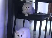 قطط شيرازيه تركيه